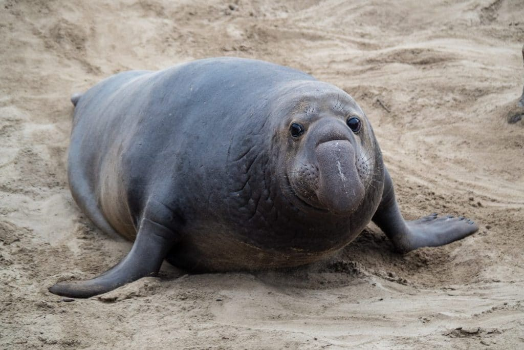 Here's How You Can See The Elephant Seals Now At Point Reyes