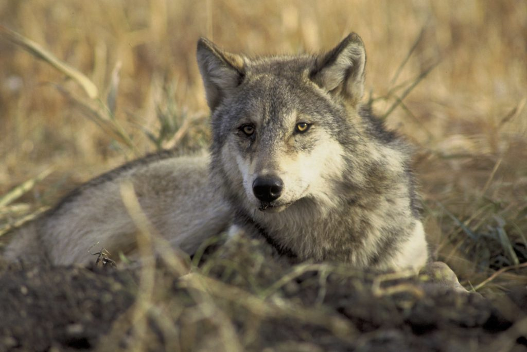 Lone Gray Wolf Tracked Near Yosemite For First Time In A Century