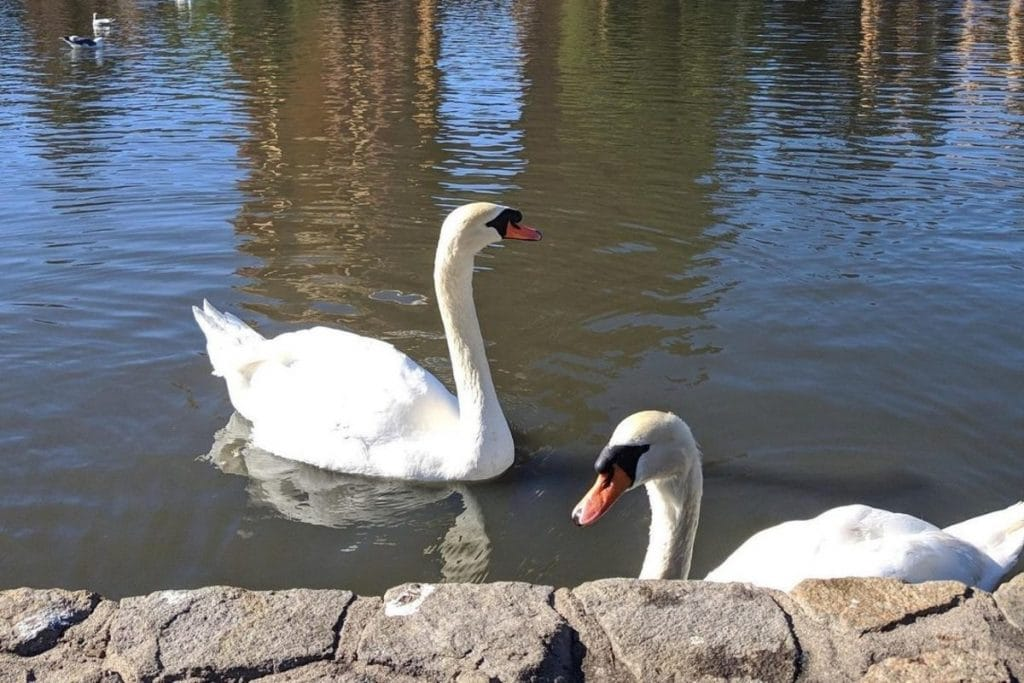 Blue Boy, One Of The Swans At The Palace Of Fine Arts, Has Died