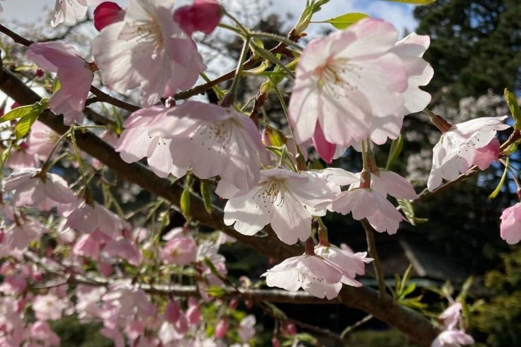 Cherry Blossoms Are Now In Bloom At The Japanese Tea Garden