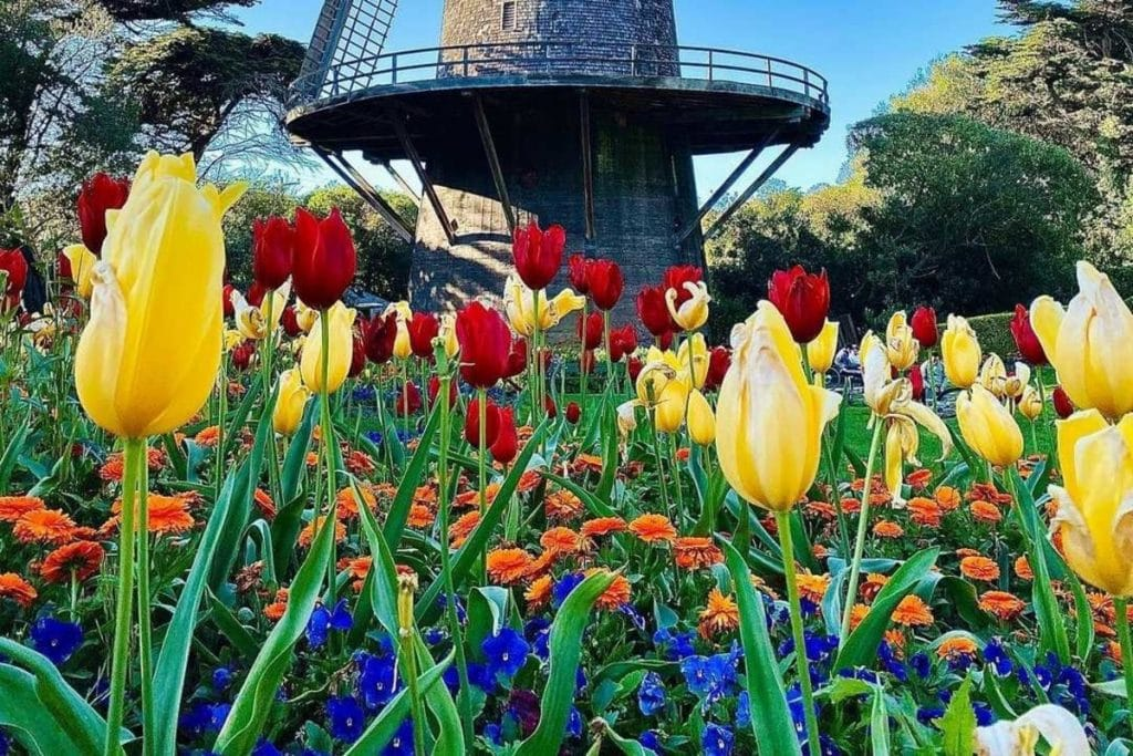 Don't Miss This Captivating Tulip Bloom Happening Now In Golden Gate Park