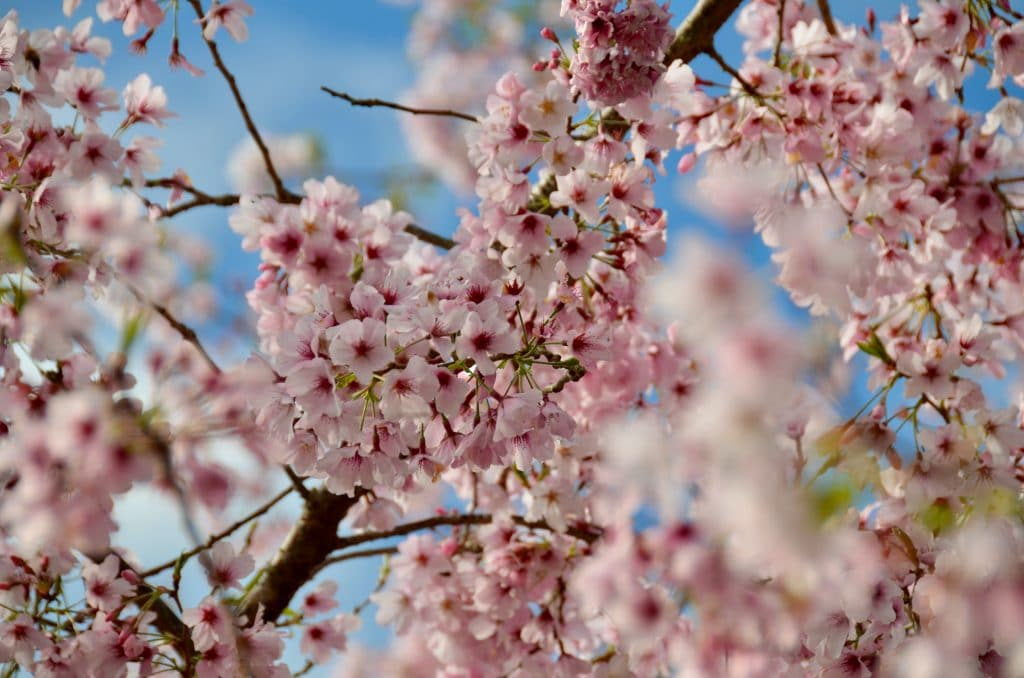 The Northern California Cherry Blossom Festival Has Gone Virtual This Year