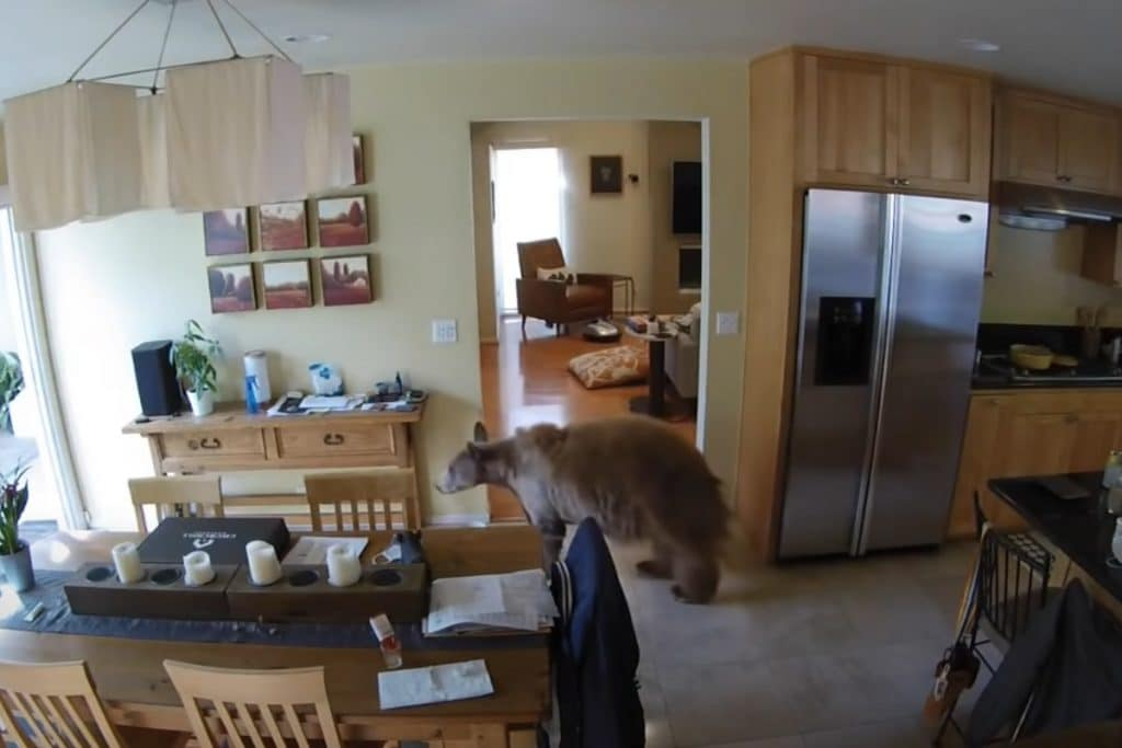 WATCH: Tiny Terriers Mei Mei And Squirt Chase Brown Bear Out Of California Home
