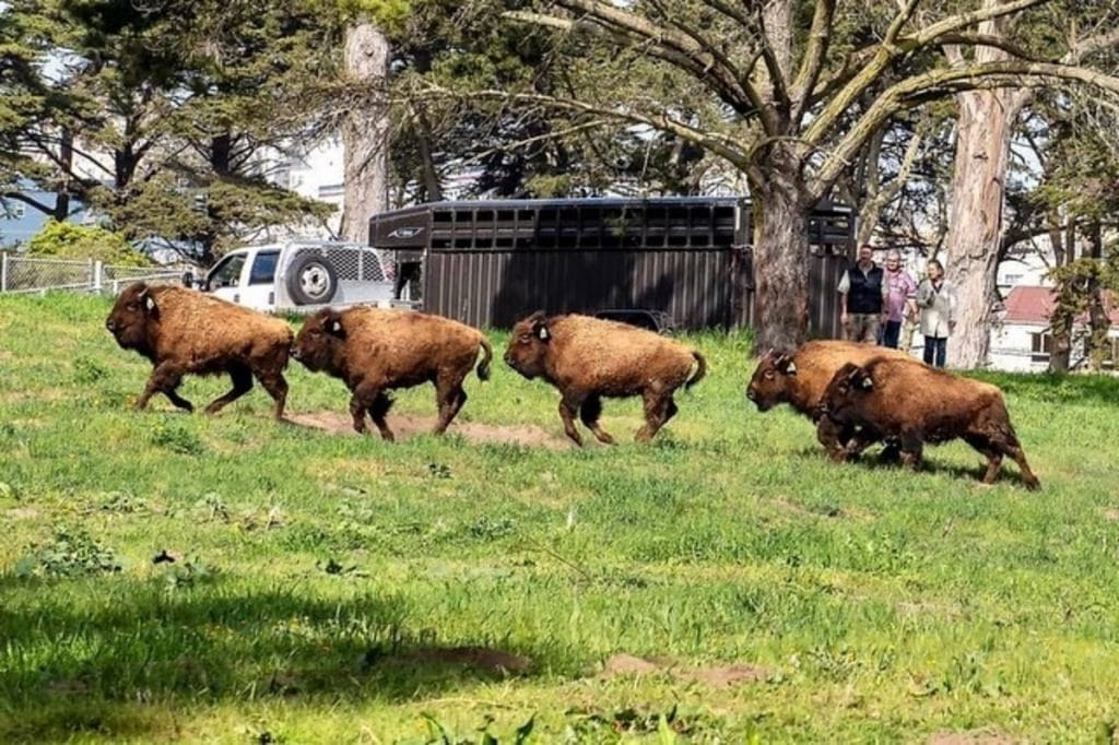 The History Of Golden Gate Park's Bison Herd Goes All The Way Back To 1891