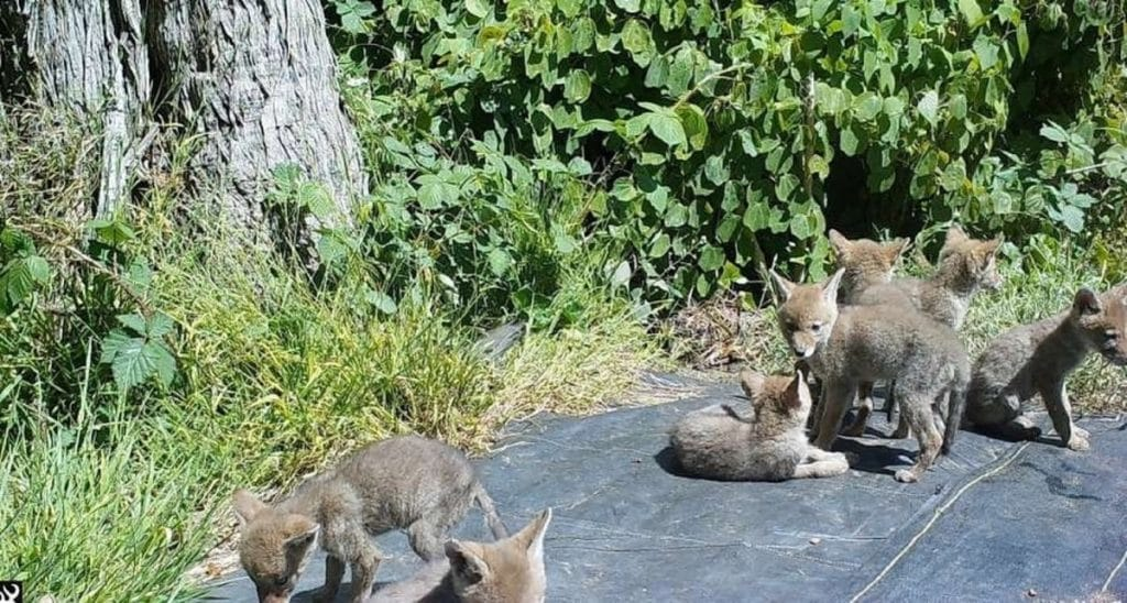 Watch Out For These Coyote Pups In Golden Gate Park