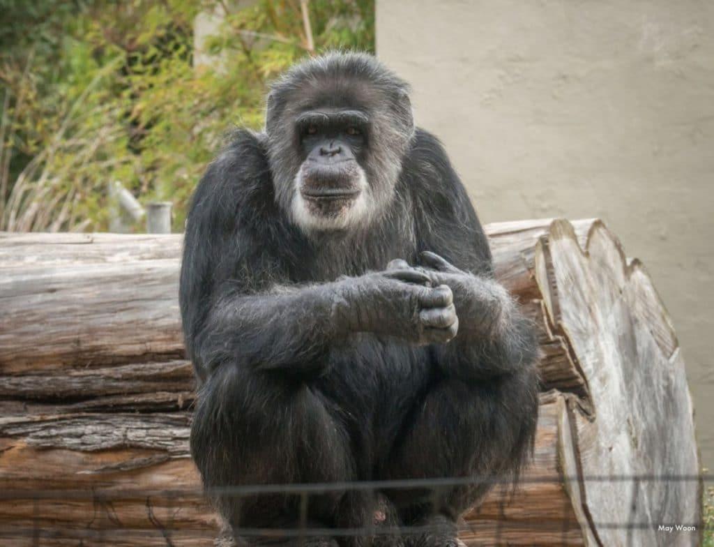 SF Zoo's Beloved Chimpanzee Cobby Dies At 63