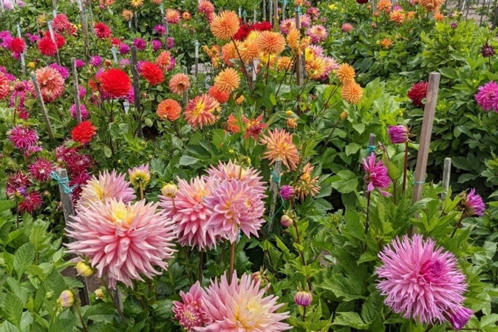 Golden Gate Park's Colorful Dahlia Garden Is In Peak Bloom Now Through September