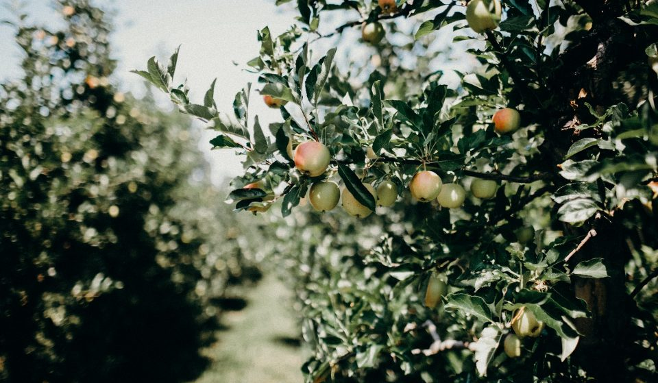 5 Lovely Orchards For Apple Picking Around The Bay Area
