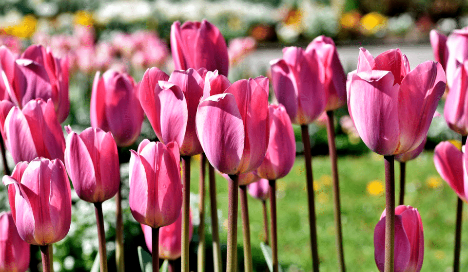 Tulips At The Skagit Festival Will Be At Peak Bloom This Week