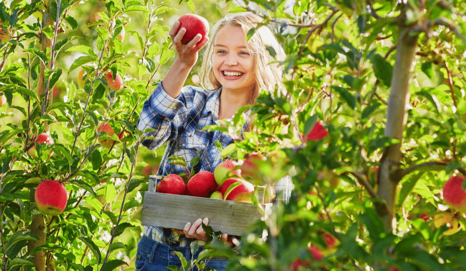 5 Incredible U-pick Apple Orchards Around Seattle You Need To Visit This Fall