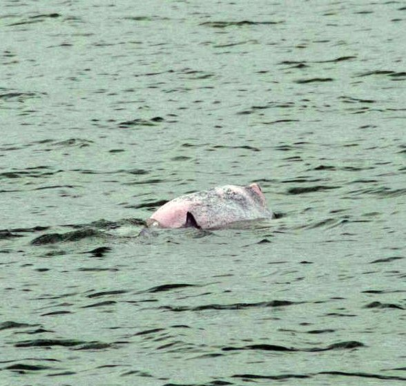Pink Dolphin Spotted In Singapore And Some Say It Points To An Improved Quality Of Water