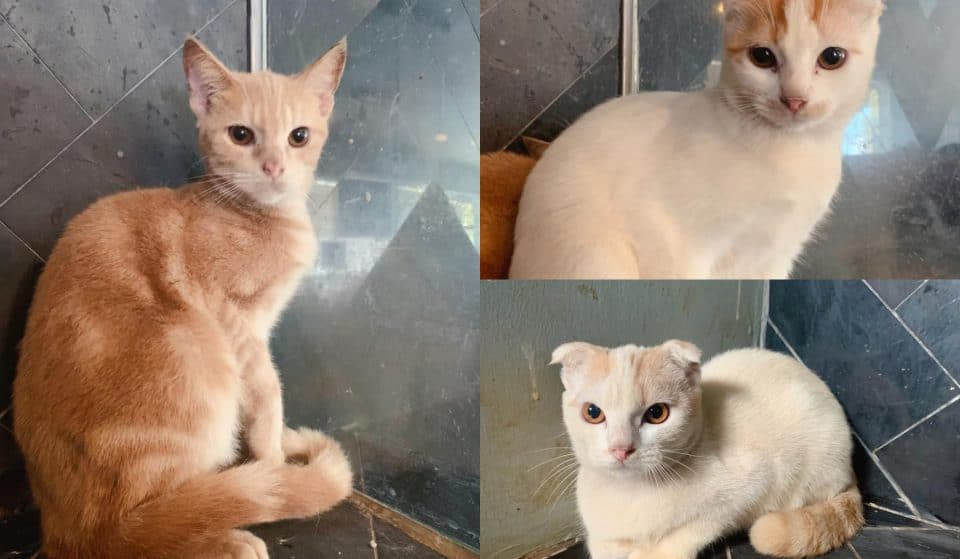 These Adorable Cats In Singapore Are Looking For New Homes