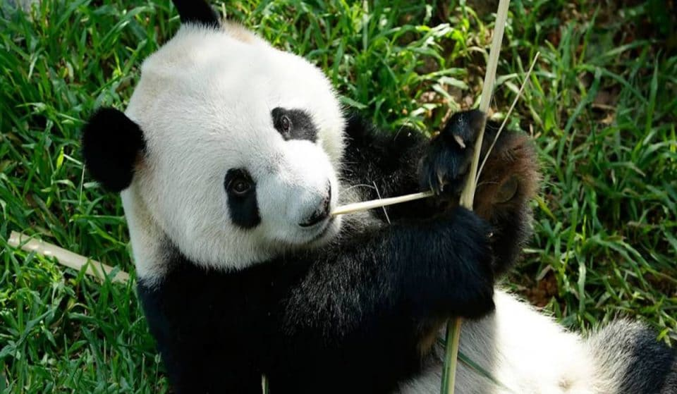 Singapore's First Panda Cub Has Miraculously Been Born At River Safari