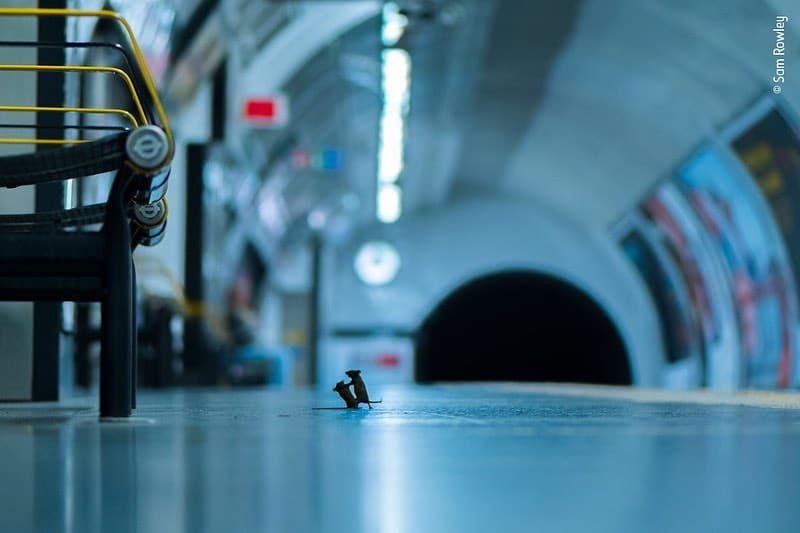 And The Winner Is … A Mice Fight On London's Tube