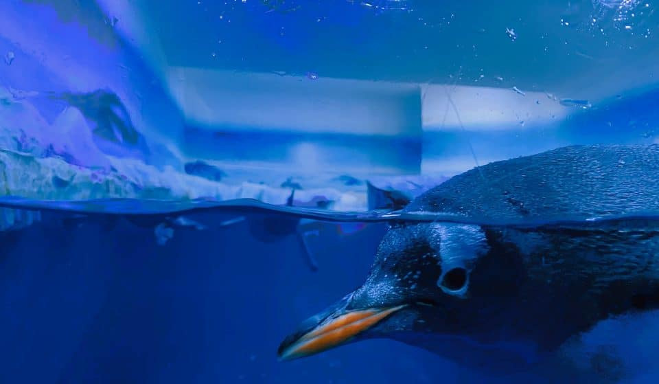 Sydney's Gay Penguin Couple Have Hatched A Second Chick And We Couldn't Be More Proud