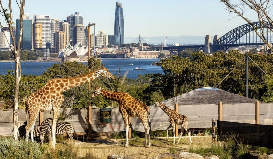 Taronga Zoo Is Bringing Back Its Online TV Channel Until The End Of Lockdown With 24/7 Livestreams