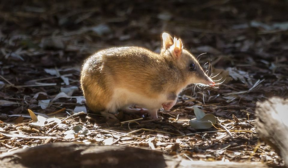 The Eastern Barred Bandicoot Has Been Saved From The Brink Of Extinction
