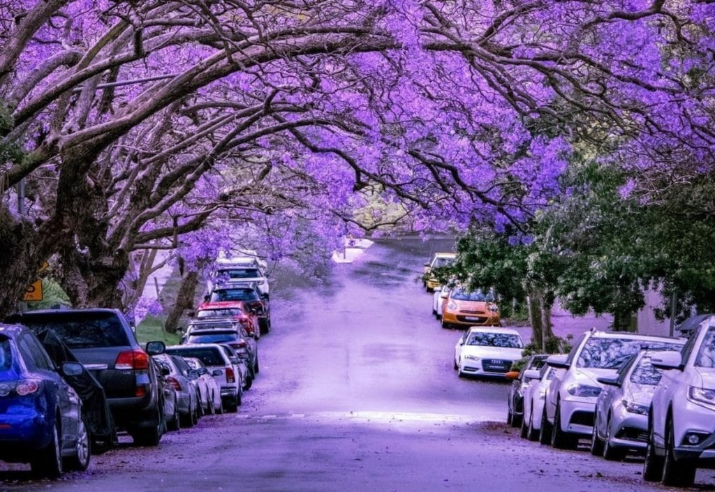 6 Stunning Spots To See Sydney's Blooming Jacaranda Trees This Spring