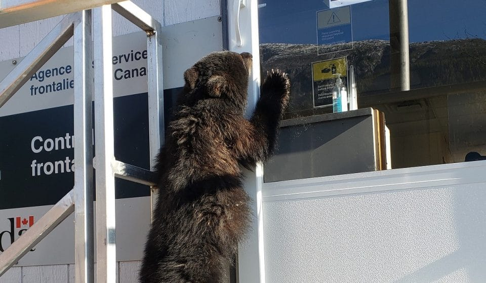 Bear Cub Caught Trying To Sneak Into Canada From U.S. By Border Patrol