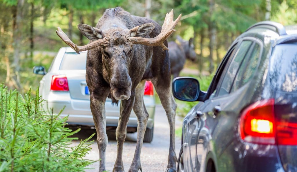 Moose Are On The Loose In Canada's National Parks, But Don't Let Them Lick Your Car!