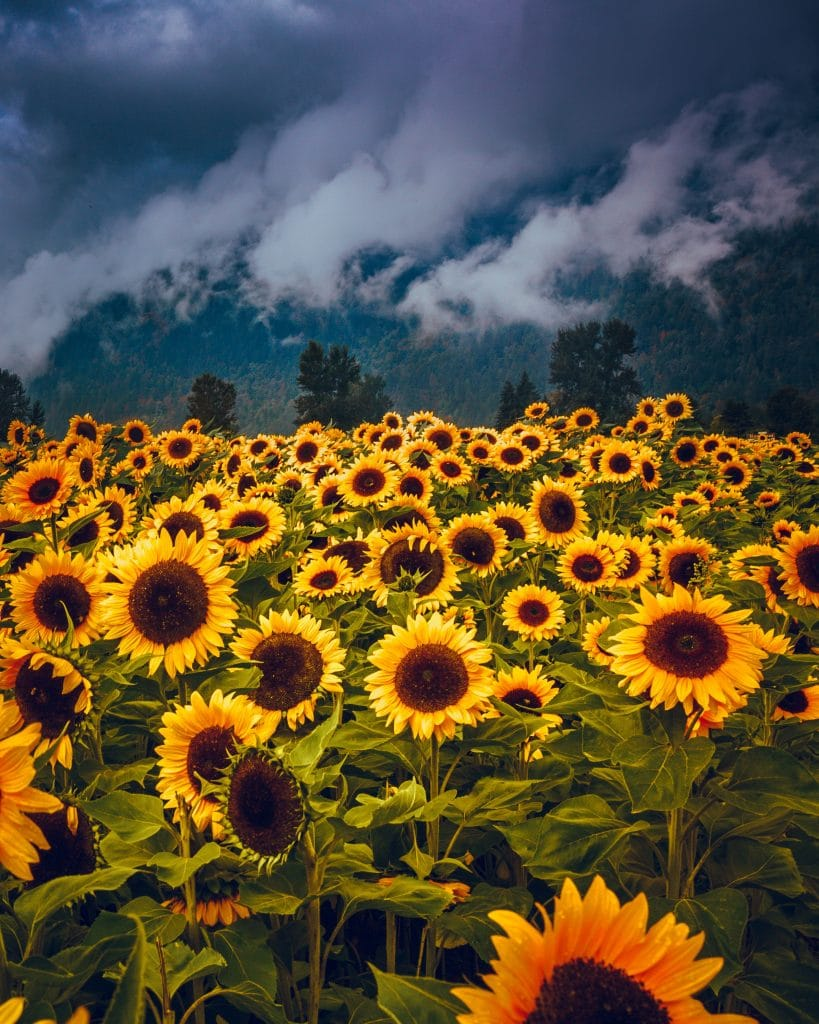 The Richmond Sunflower Festival Is Officially In Full Bloom