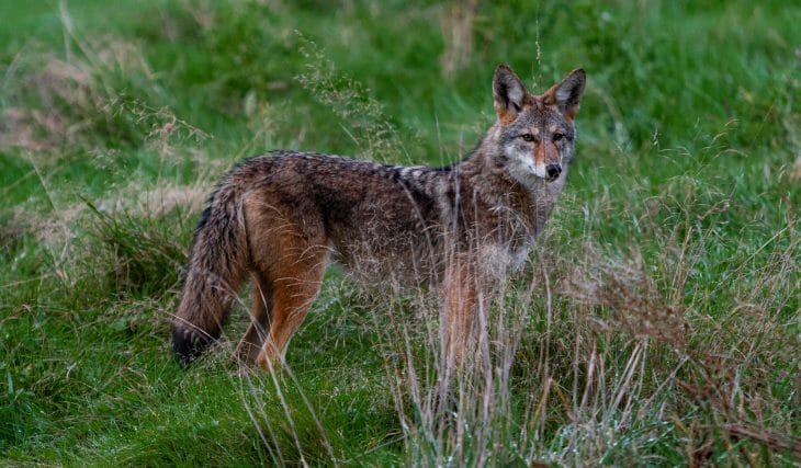 Stanley Park Nightly Closures Extended After Rapid Increase In Coyote Attacks