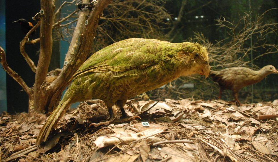 New Zealand's Adorable Kākāpō Have Been Saved From The Edge Of Extinction