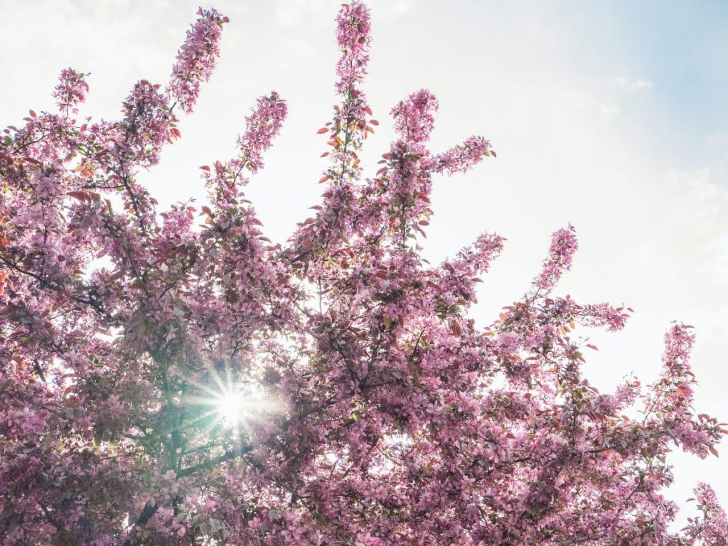 Hier blühen Kirschbäume und Magnolien am schönsten