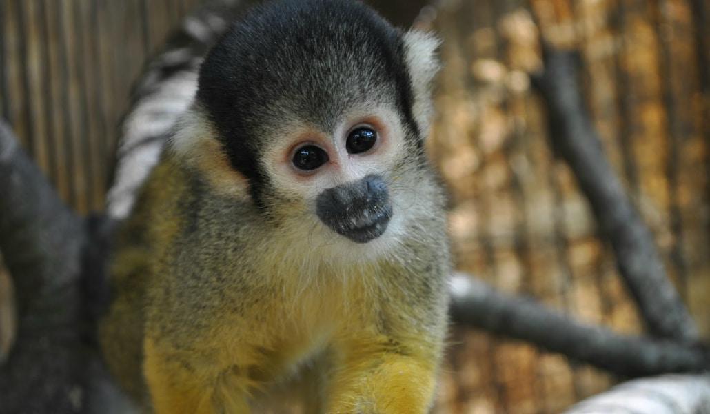 Aparece un primate protegido por Parque Amate