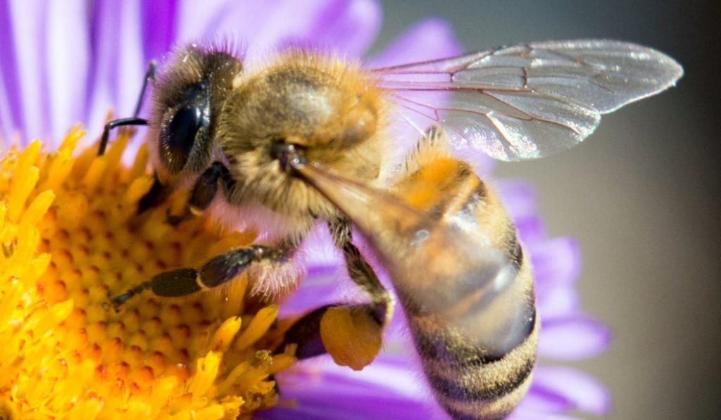 Día Mundial de la Abeja, un insecto esencial para la vida