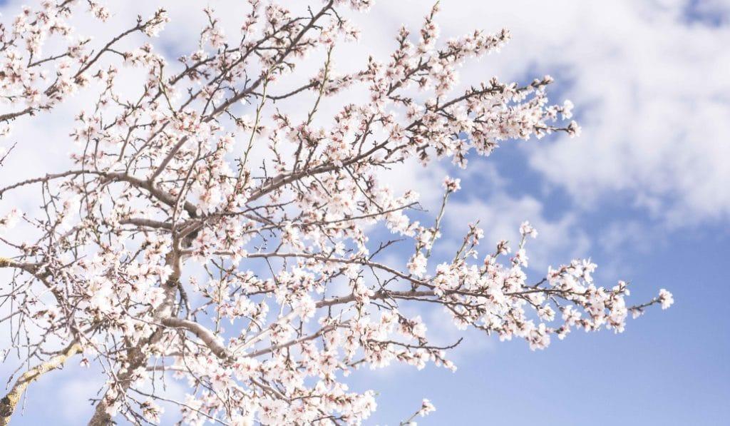 Los campos de cerezo y almendro en flor más bonitos de Andalucía