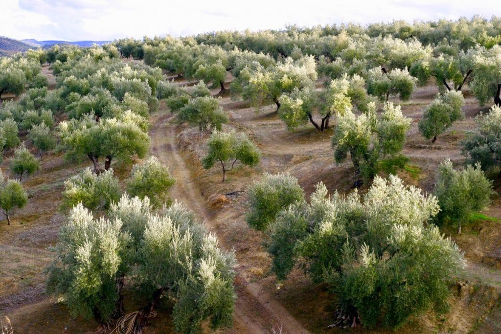 El mejor aceite de oliva del mundo se elabora a 2 horas de Sevilla