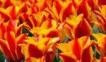 Tuliparty, torna a Torino l'evento dedicato ai tulipani