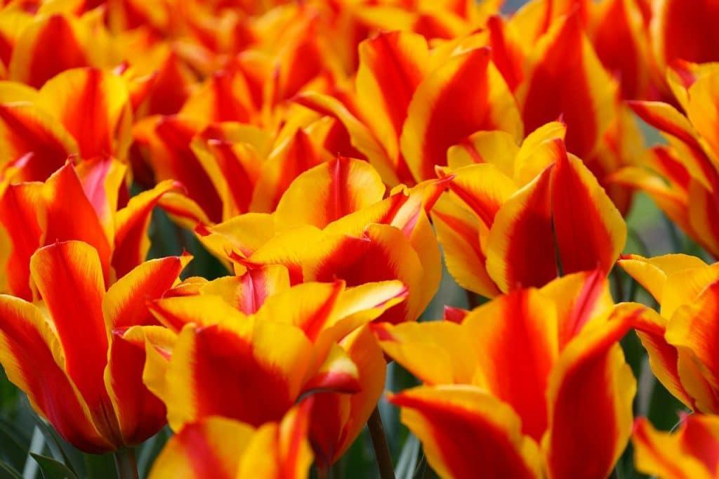 tuliparty torino