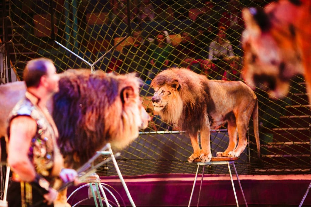 Le gouvernement annonce la « fin progressive » des animaux sauvages dans les cirques itinérants
