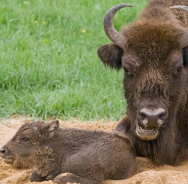 bisonte-europeo-espana3--644x724