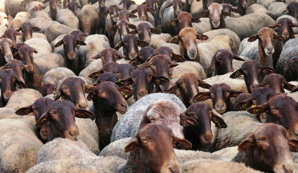 oveja guirra valencia
