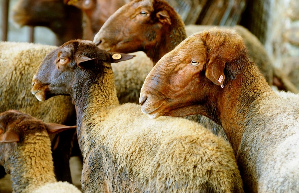 oveja guirra valencia 2