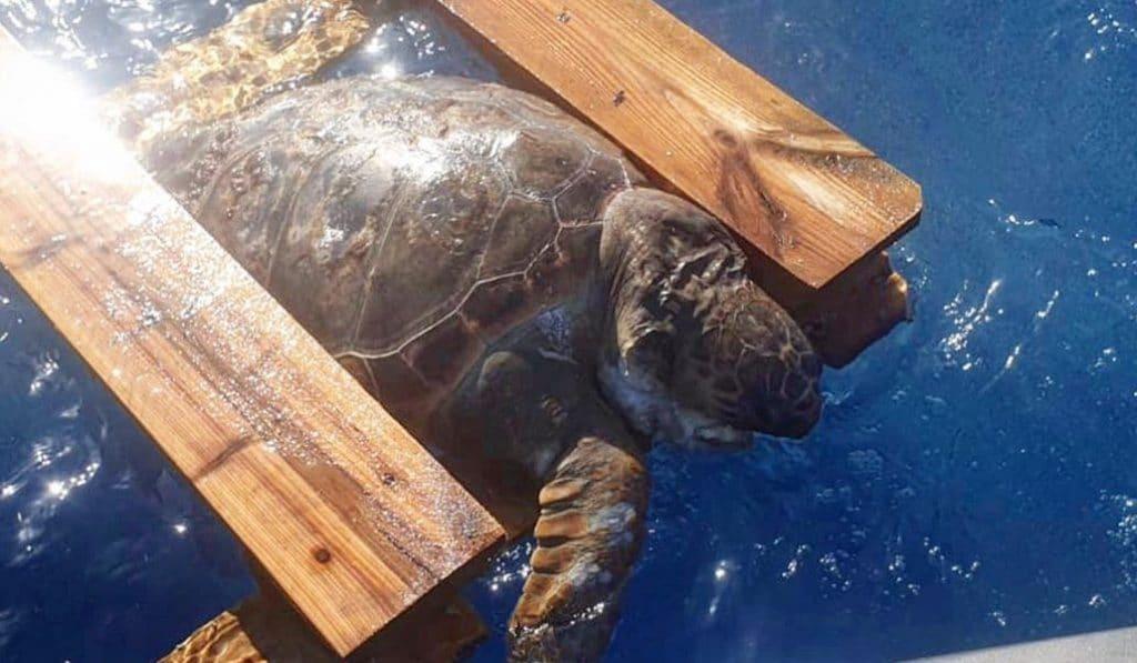 Aparece una tortuga muerta en la costa valenciana tras quedar atrapada en un palé