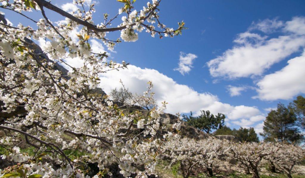 La Vall de Gallinera: el mejor lugar para ver los cerezos en flor en la Comunitat Valenciana