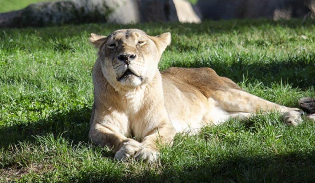 Muere Fa, la leona del Bioparc de Valencia