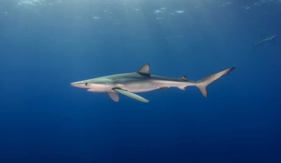 Una playa valenciana amanece con un tiburón de 270 kilos varado