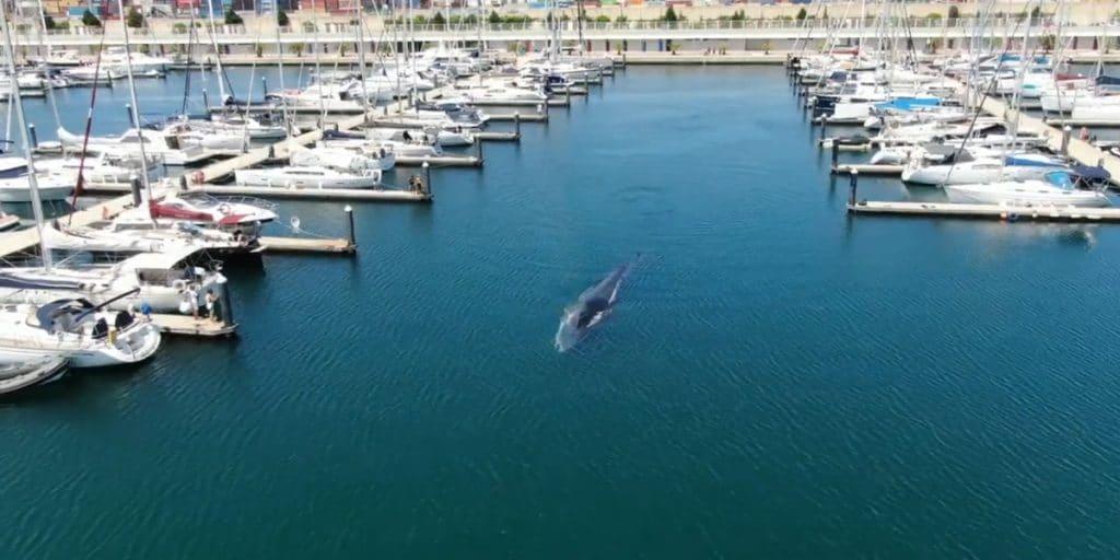 Una ballena de 20 metros, atrapada en el Puerto de Valencia