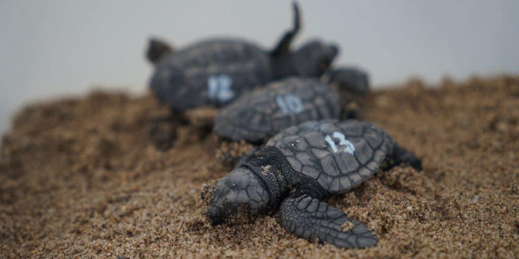 Nacen 70 tortugas marinas en la playa de El Puig